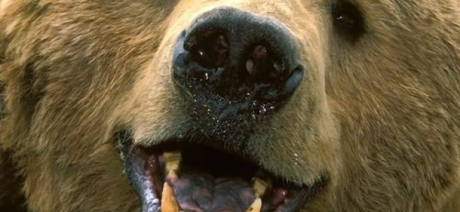 Disney's Bears is a beautiful entry-level nature documentary